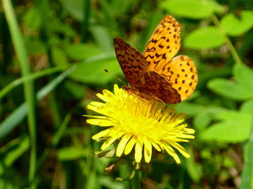 Fritillary on wildflower