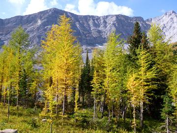 Subalpine Larch